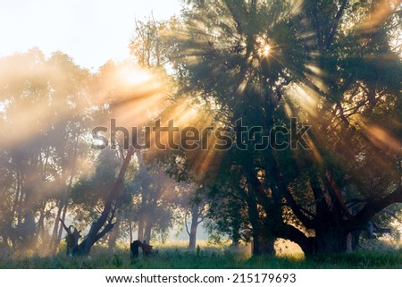 summer landscape dense fog in the oak grove near the river at sunrise - stock photo