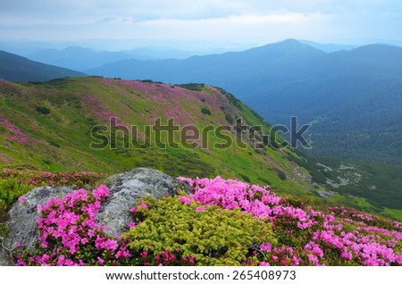 Summer landscape. Mountain flowers. Blooming rhododendron. Beauty in nature - stock photo