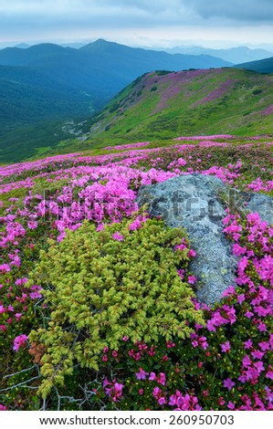 Summer landscape. Mountain flowers. Blooming rhododendron. Beauty in nature. Carpathians, Ukraine, Europe - stock photo