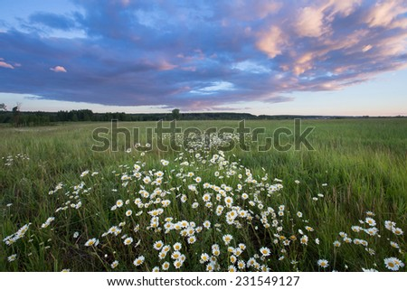 summer landscape sunset over the chamomile field and beautiful clouds in the blue sky - stock photo