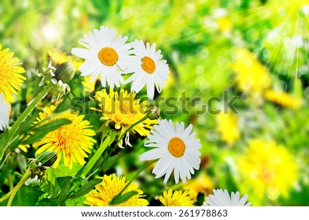Summer landscape. Wildflowers daisies and dandelions - stock photo