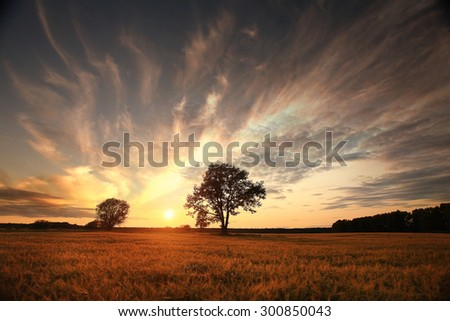 summer landscape with a lone tree at sunset barley field in the village - stock photo