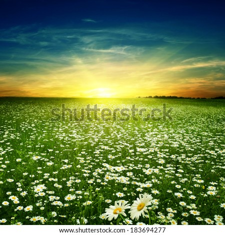 Summer landscape with daisy field at sunset. - stock photo