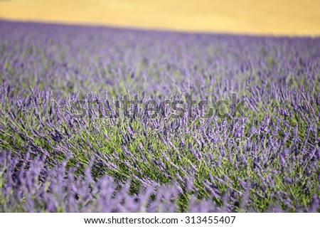 Summer lavender field, Provence, France - stock photo