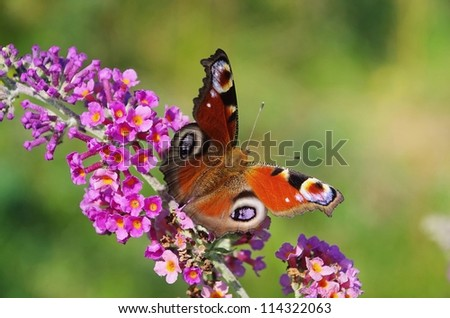 Summer Lilac with European peacock 01 - stock photo
