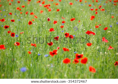 Summer meadow field with blooming poppies - stock photo