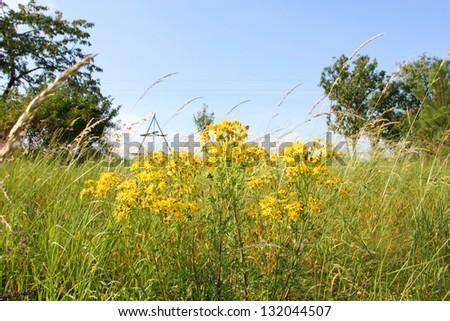 Summer meadow. Senecio jacobea yellow flowers - stock photo