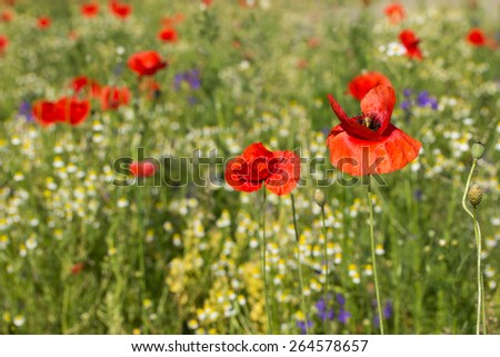 Summer meadow with Common poppy flowers.  - stock photo