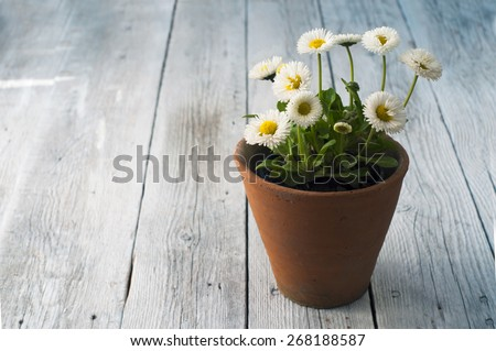 Summer or spring beautiful garden with daisy flowers - stock photo