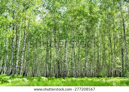 summer rural landscape with the birch forest  - stock photo