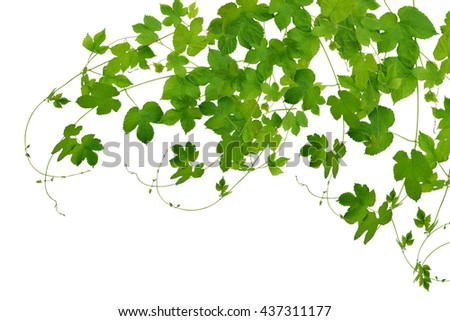 Summer. Spring. Medicine. Branches hop with leaves isolated on white background without shadows. Fresh green hops . Beer production ingredient. Brewing. - stock photo
