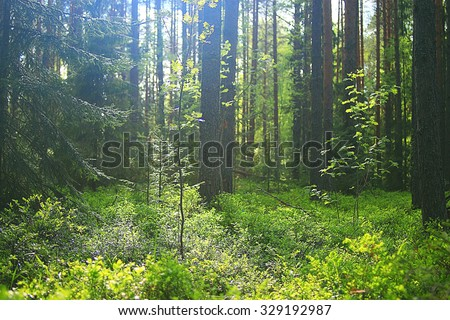 summer spruce forest landscape - stock photo