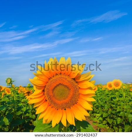 summer sunflower field scene - stock photo