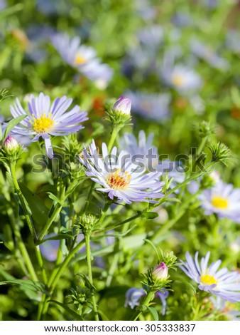 Summer Sunlight Scene: Daisy or Chamomile Flowers on Green Grass Background - stock photo