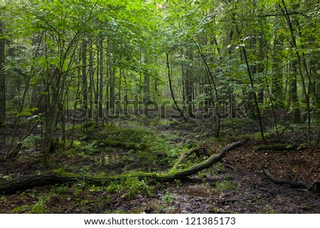 Summer sunset with light entering rich deciduous stand of Bialowieza Forest with broken branch in foreground - stock photo