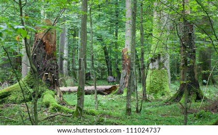 Summer view of mixed stand of Bialowieza Forest with broken trees and wild boar among them in middle - stock photo