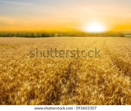 summer wheat field at the sunset - stock photo