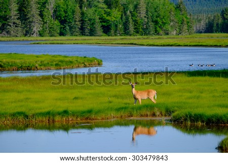 Summer Whitetail deer feeding out on a beautiful green marsh surround by blue waters of the many Maine inlets around the state - stock photo