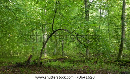 Summertime lush foliage of deciduous stand of Bialowieza Forest with bent linden tree in foreground - stock photo