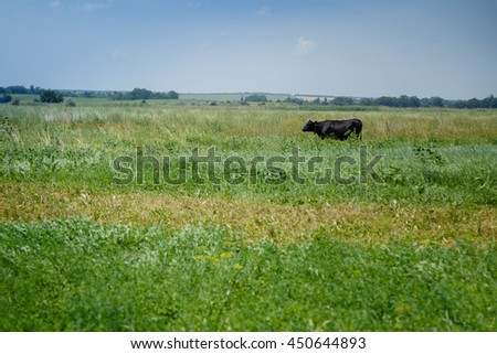 Summertime. Meadow with green grass and cows graze. Domestic animals. Pasture. Agriculture.  - stock photo
