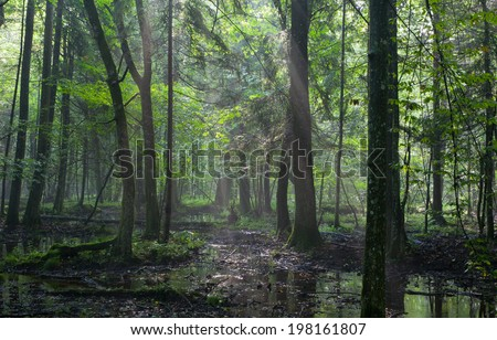 Summertime sunrise in wet deciduous stand of Bialowieza Forest with standing water - stock photo