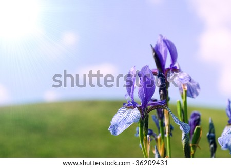 Sun background with blue iris, by sky and hill in the background, much place is for inscriptions - stock photo