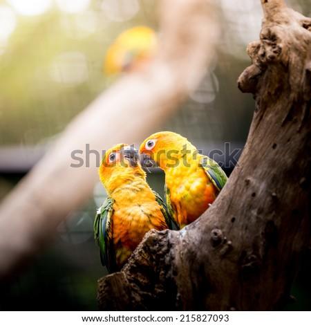 Sun Conure Parrot - stock photo