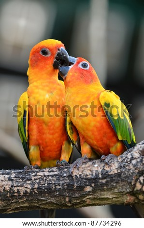 Sun Conure Parrot on a Tree Branch - stock photo