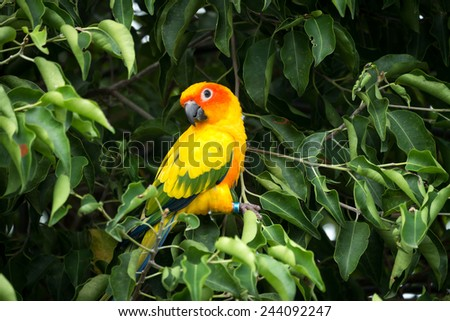 Sun conure parrot on the tree - stock photo