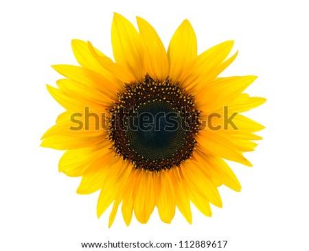 sun flower isolated on white background - stock photo