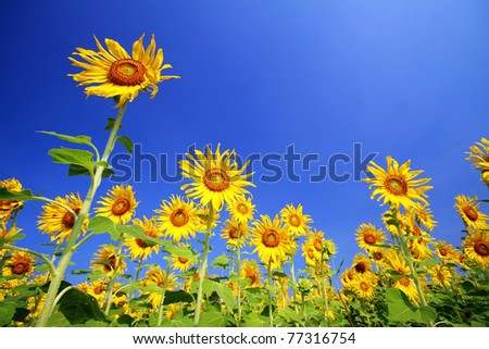 Sun Flower over the Blue Sky - stock photo
