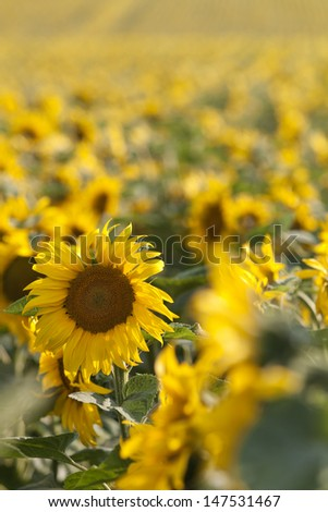 Sun flowers close up field / agricultural fields for oil productions - stock photo