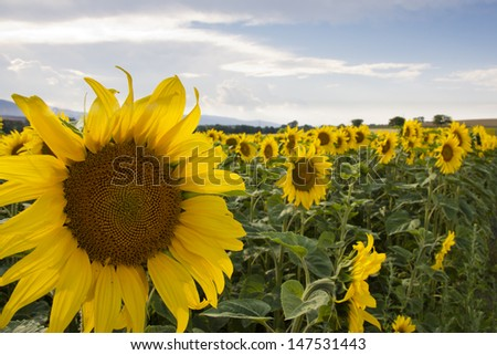 Sun flowers field / agricultural fields for oil productions - stock photo