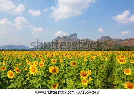 sun flowers field in Thailand. sunflowers - stock photo