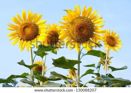Sun flowers in the garden - stock photo