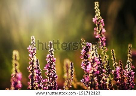 Sun glow on Purple loosestrife plant (Lythrum salicaria) - crybaby-grass - stock photo