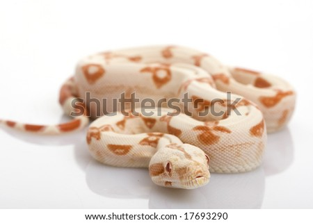 Sun Glow Red-tailed Boa (B. c. constrictor) on white background. - stock photo