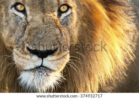 Sun Kissed Male Lion Close-up - stock photo