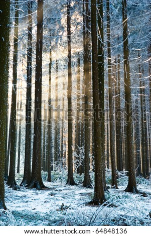 Sun rays getting through winter forest trees, sunbeams - stock photo