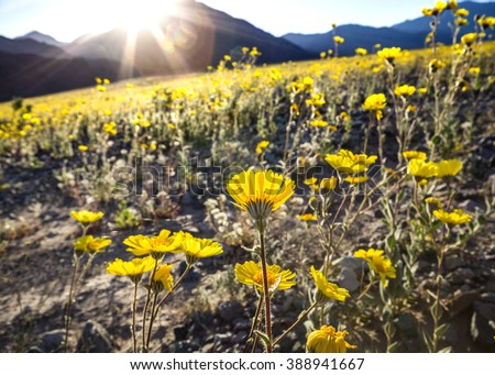 Sun rays shining on desert gold flowers in Death Valley National Park during the 2016 wildflower bloom - stock photo