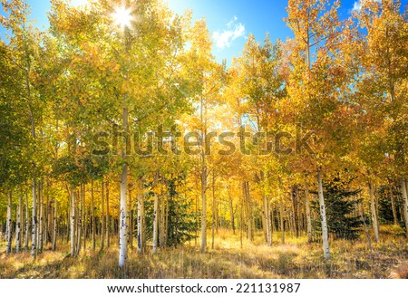 Sun rays shining through leaves in an aspen grove in fall - stock photo