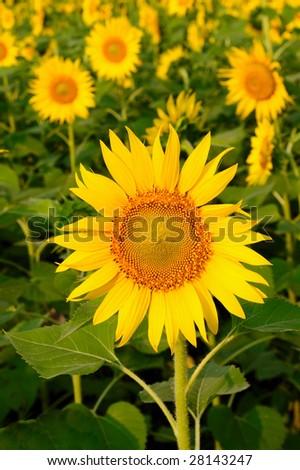 sun setting on Beautiful  sunflower fields - stock photo