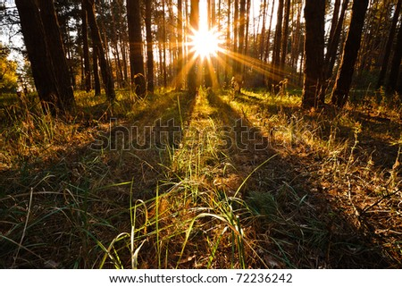 Sun shines behind trees in evening forest - stock photo