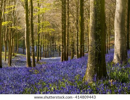 Sun shines through beech and birch trees on a Dorset hillside - stock photo
