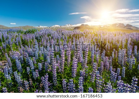 Sun shining over the meadows full of blooming Nootka lupin (Lupinus nootkatensis) under the Snaefellsjokull glacier, Snaefellsnes peninsula, Iceland.  - stock photo