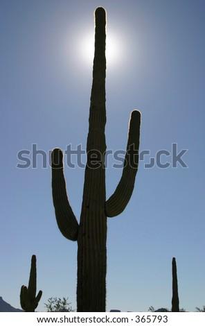 Sun Silhouetted Saguaro Cactus in Quartzsite, Arizona - stock photo