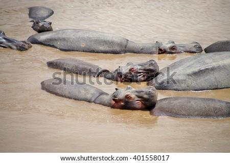 Sunbathing hippos in the water of Mara River at Maasai Mara National Park, Kenya - stock photo