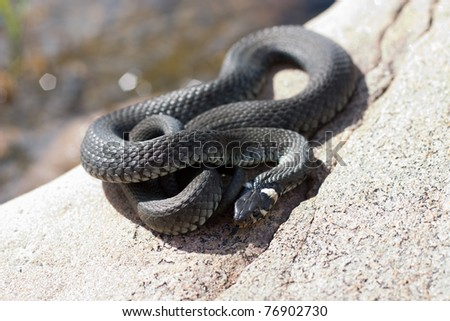 sunbathing snake , lies on the warm rocks in the sun - stock photo
