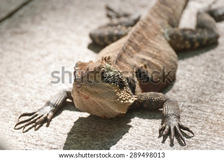 Sunbathing Water Dragon Lizard - Australia's largest dragon lizard - stock photo