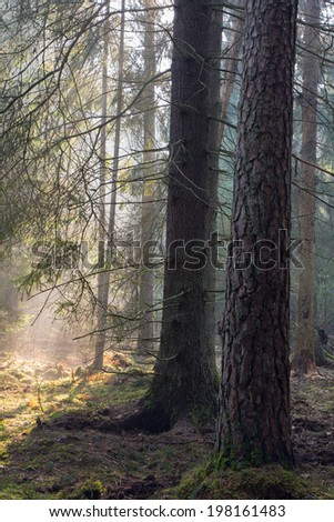 Sunbeam entering rich coniferous forest misty morning with old spruce and pine tree in foreground - stock photo